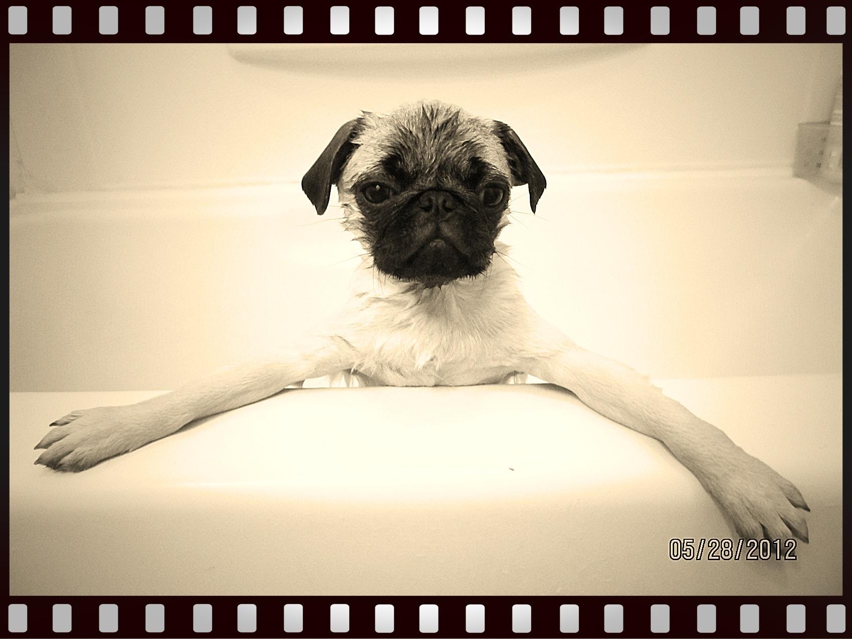 Pug In A Tub