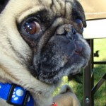 Pugs and Laser Lights – What's Wrong with Poppie?