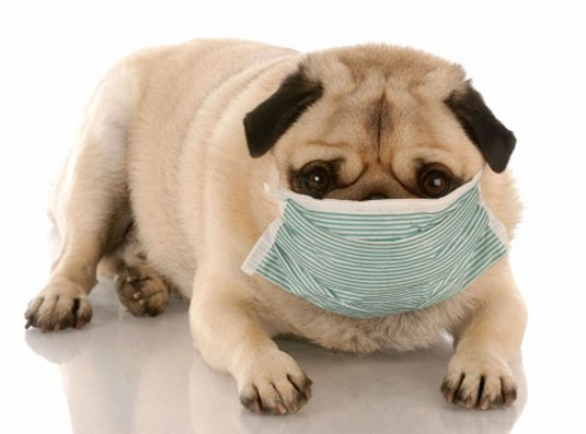 Valley Fever And Your Pug Pugface