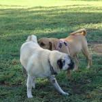 Pug Farts (oops, Flatulence)