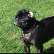 PDE (Pug Dog Encephalitis)